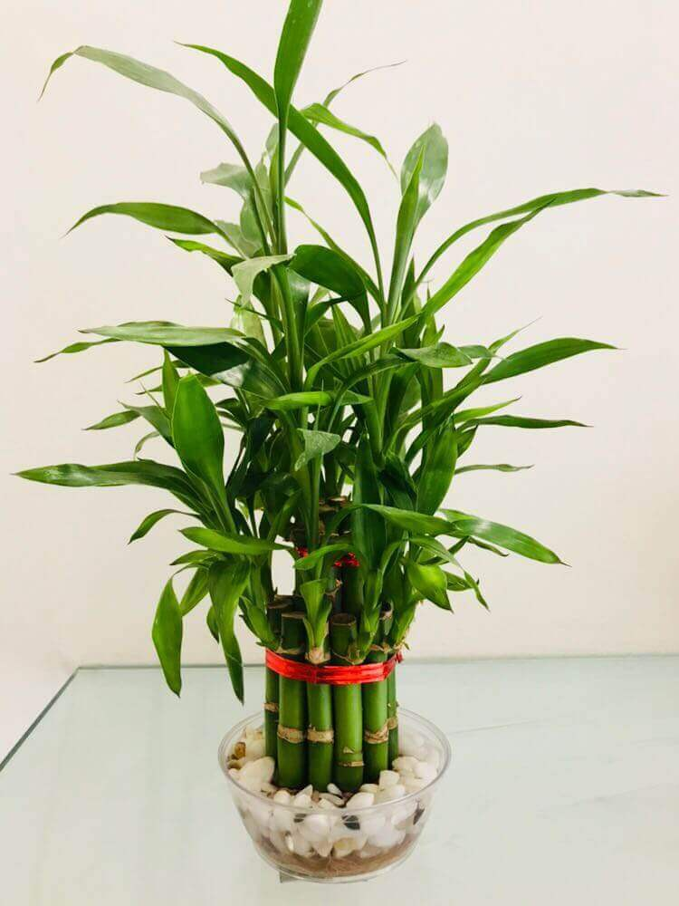 Two Layer Big Bamboo