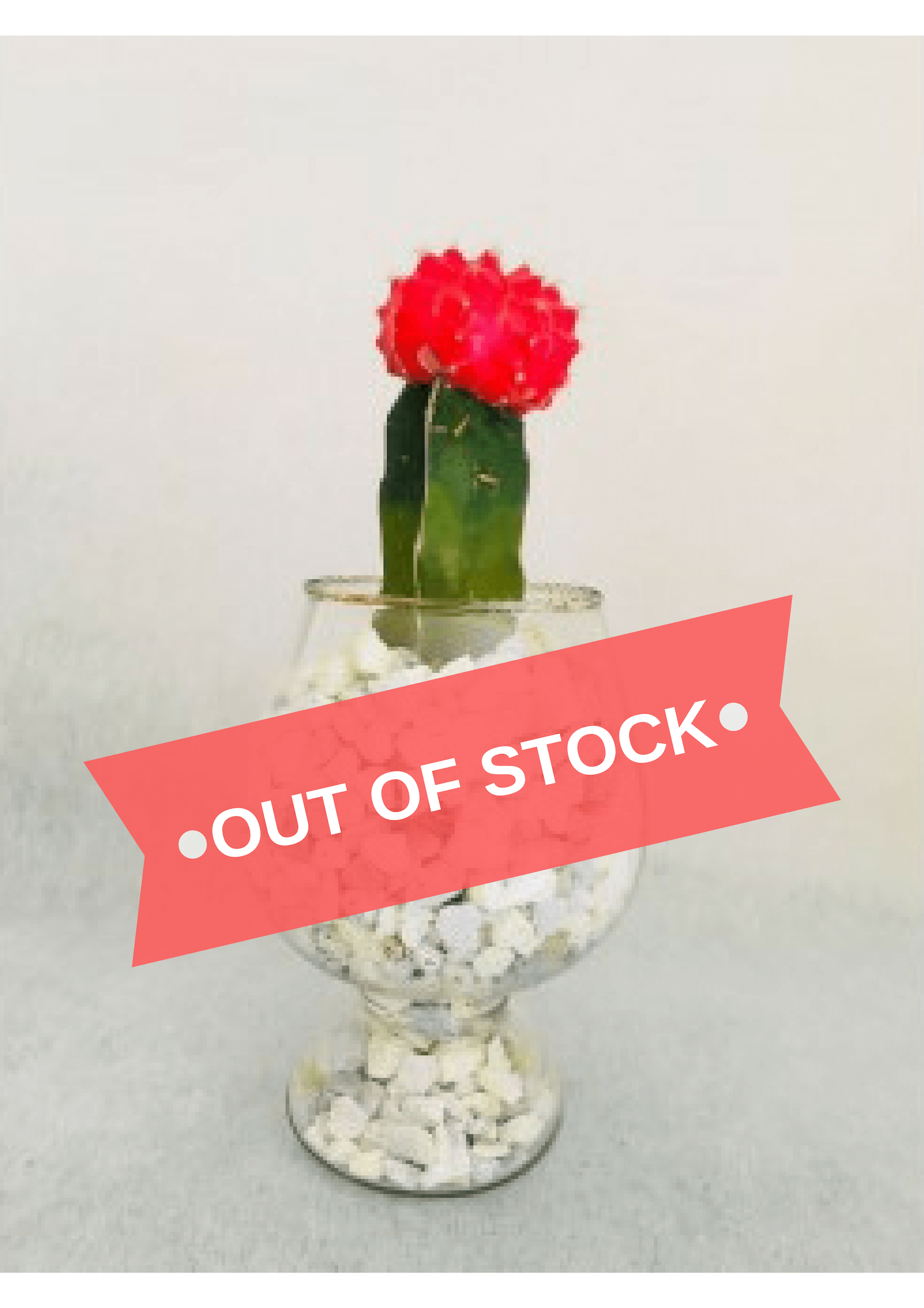 Red Grafted Cactus Plant